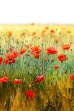 Foto de papoilas vermelhas bonitas Fotografia de Stock Royalty Free