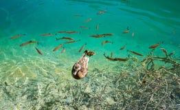 Foto de pescados y de la natación del pato en un lago, admitida el parque nacional Plitvice, Croacia Fotografía de archivo