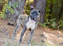 Foto de Pit Bull Mix Puppy Adoption do pastor foto de stock royalty free
