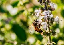 foto de polinización de polinización de la macro de la flor de la abeja del cierre del extremo de la flor de la albahaca de la ab fotos de archivo