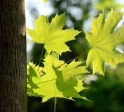 Foto de por completo de hojas de arce ligeras fotografía de archivo libre de regalías