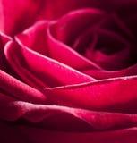 Foto de Rose With Water Drops hermosa Fotografía de archivo libre de regalías