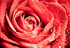 Foto de Rose With Water Drops hermosa Foto de archivo libre de regalías