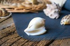 Foto de shell do mar Fotos de Stock