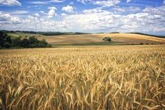 Foto de um campo de trigo Fotos de Stock