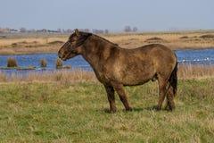 Foto de um cavalo selvagem de Konik Fotos de Stock
