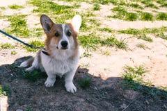 Foto de um corgi do cão na rua Retrato de um c?o pequeno O Corgi de Galês senta-se na grama e nos olhares na câmera imagem de stock royalty free