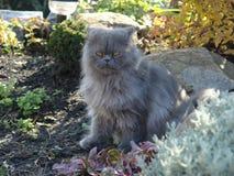 Foto de um gato persa para uma caminhada imagem de stock