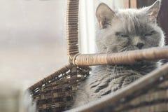 Foto de um lilás britânico do gato da raça, assento de bocejo do close up na cesta fotografia de stock royalty free