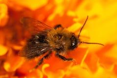 Foto de uma abelha bonita e de flores um o dia ensolarado tiro macro do foco seletivo com DOF raso Fotografia de Stock