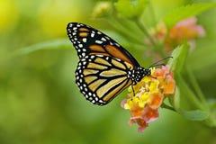 Foto de uma borboleta de monarca Fotos de Stock