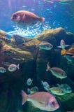 Foto de uma colônia coral, Mar Vermelho imagem de stock royalty free