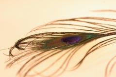 Foto de uma pena do pavão em um fundo claro imagens de stock