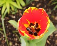 Foto de uma tulipa vermelha e amarela em um jardim na vista macro foto de stock royalty free