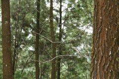 Foto de un árbol de pino, de debajo, versión 22 Foto de archivo libre de regalías