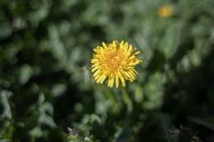 Foto de un amarillo solo y decaído de la manzanilla fotos de archivo libres de regalías
