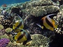 Foto de un bannerfish coralino de la colonia y de los coralfish del banderín Imagenes de archivo