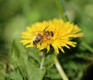 Foto de un fondo retro macro de una abeja Imagen de archivo libre de regalías