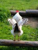 Foto de un gallo hermoso Imagenes de archivo