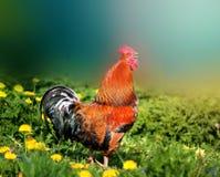 Foto de un gallo hermoso Imagen de archivo