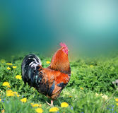Foto de un gallo hermoso Fotografía de archivo