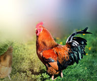 Foto de un gallo hermoso Fotos de archivo libres de regalías