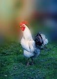 Foto de un gallo hermoso Imágenes de archivo libres de regalías