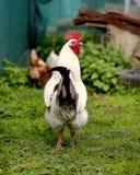 Foto de un gallo hermoso Imagen de archivo libre de regalías