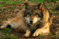 Foto de un lobo (lupus de Canis) Fotos de archivo