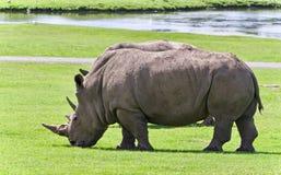 Foto de un par de rinocerontes que comen la hierba Fotografía de archivo