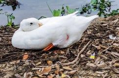 foto de un pato imágenes de archivo libres de regalías