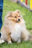 Foto de un perro del sheltie imagenes de archivo