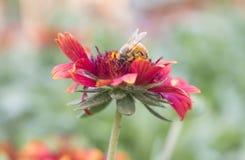 Foto de una abeja hermosa y de flores al día soleado Foto de archivo libre de regalías