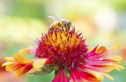 Foto de una abeja hermosa y de flores al día soleado Imagenes de archivo
