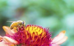 Foto de una abeja hermosa y de flores al día soleado Imágenes de archivo libres de regalías