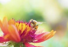 Foto de una abeja hermosa y de flores al día soleado Fotografía de archivo