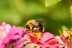 Foto de una abeja hermosa y de flores al día soleado Fotos de archivo