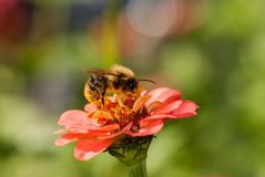 Foto de una abeja hermosa y de flores al día soleado Fotografía de archivo libre de regalías
