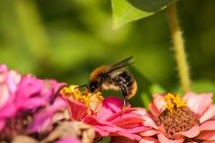 Foto de una abeja hermosa y de flores al día soleado Fotos de archivo libres de regalías