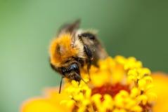 Foto de una abeja hermosa y de flores al día soleado tiro macro del foco selectivo con el DOF bajo Fotografía de archivo libre de regalías