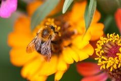 Foto de una abeja hermosa y de flores al día soleado tiro macro del foco selectivo con el DOF bajo Foto de archivo
