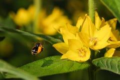 foto de una abeja hermosa y de las flores del vuelo al día soleado Imagen de archivo