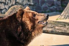 Foto de una cabeza del oso marrón con su primer entornado de la boca en un fondo borroso de una jaula al aire libre en el parque  fotografía de archivo