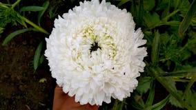 Foto de una flor blanca del aster de Terry fotos de archivo