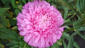 Foto de una flor del aster imagen de archivo libre de regalías