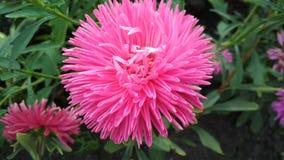 Foto de una flor del aster de Terry fotografía de archivo