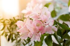 Foto de una fresia apacible del roze en backgroung de la luz del sol hojas del verde Imagen de archivo libre de regalías