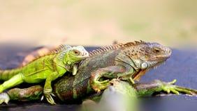 Foto de una iguana divertida del primer Imágenes de archivo libres de regalías