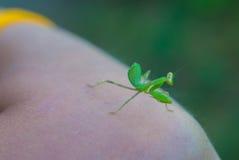 Foto de una mantis religiosa que se sienta en el brazo Imagen de archivo