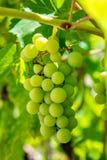 Foto de una rama de las uvas verdes de la vid Foto de archivo